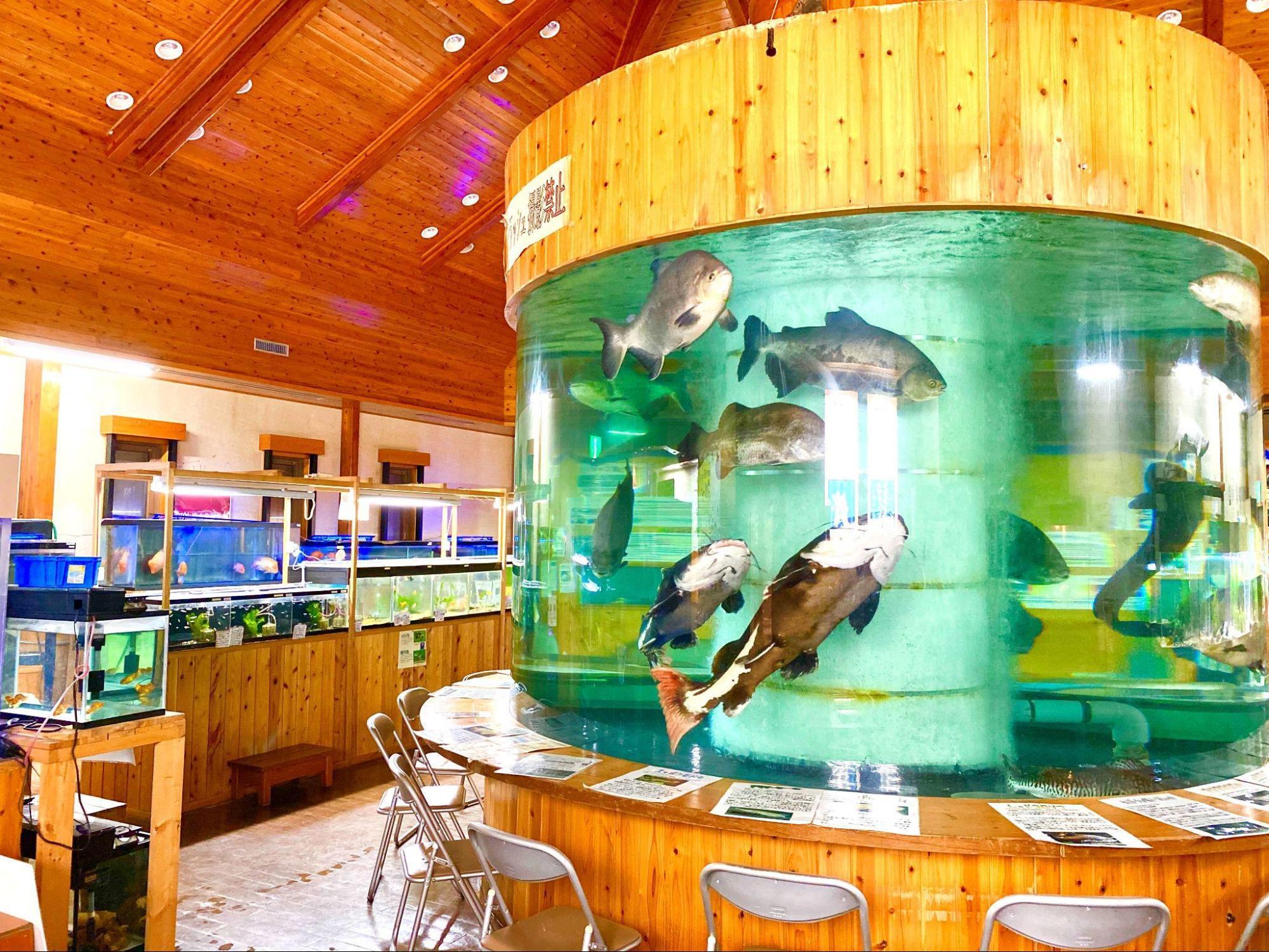 出の山淡水魚水族館にいる、たくさんの淡水魚