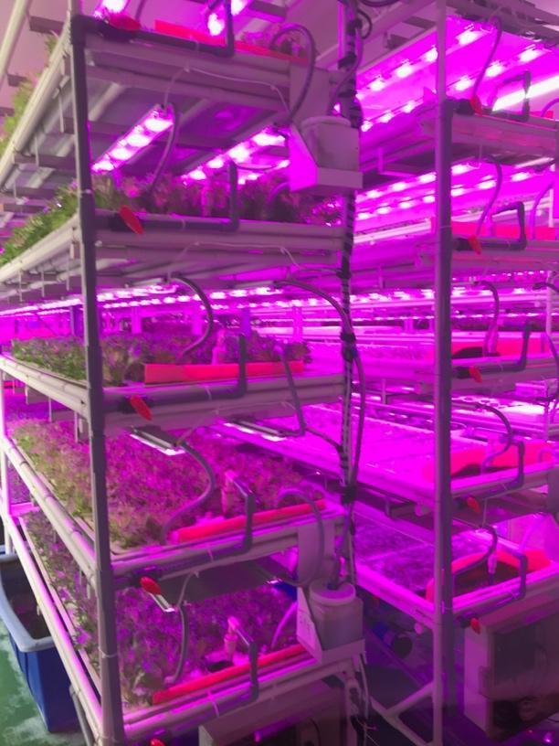 工場内の栽培棚の様子