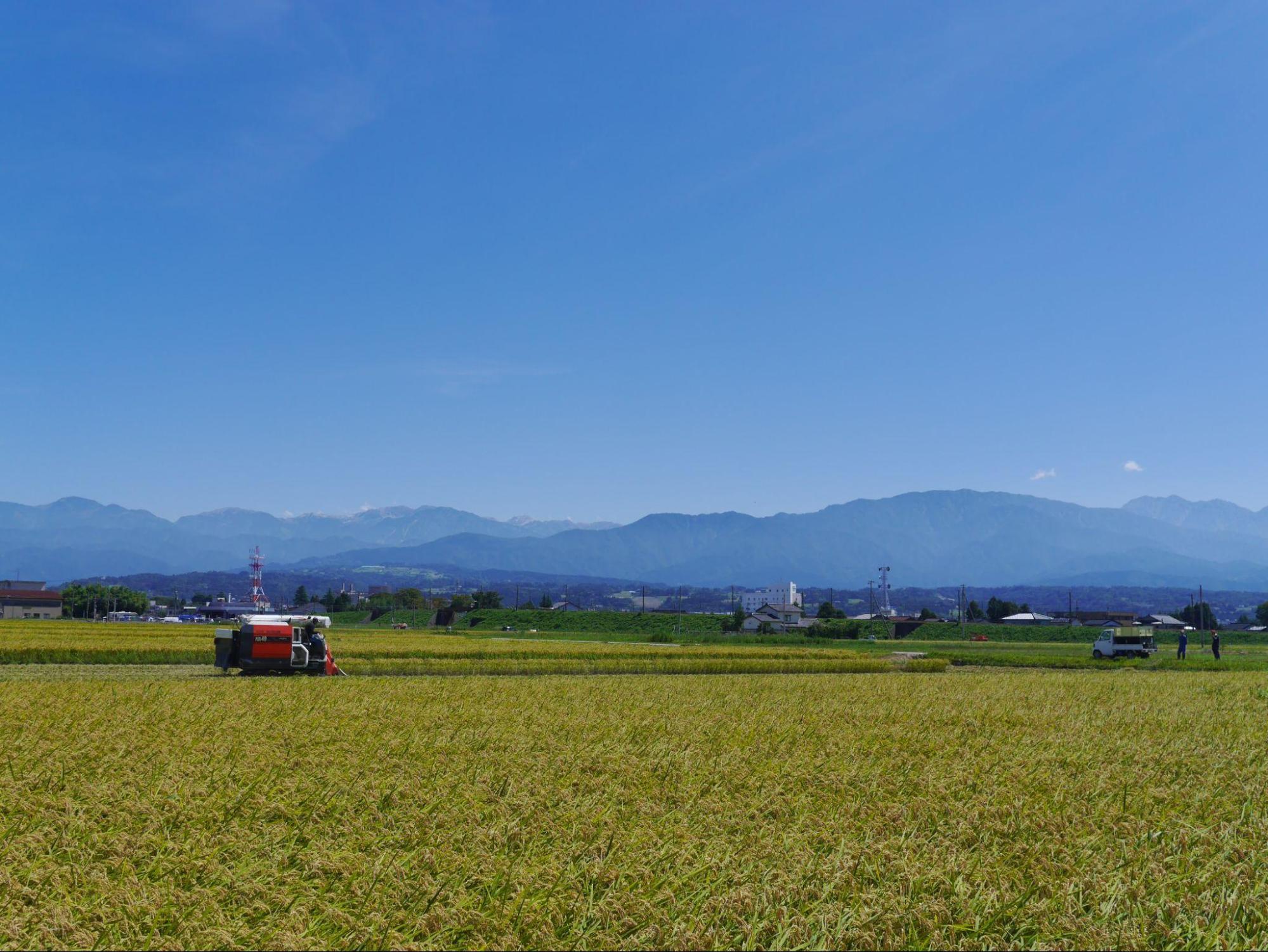 稲刈りの様子